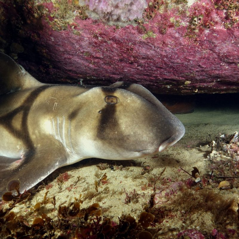 port jackson sharks resized